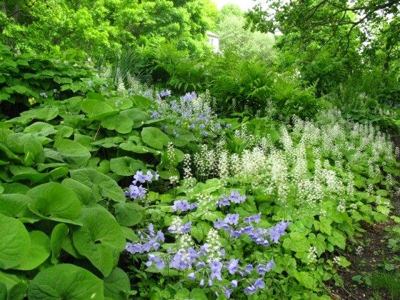 Wild Ginger, Woodland Phlox, Foamflower